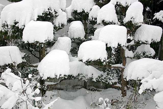 snowonpinetree
