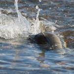 十勝川でのサケの産卵を図解 卵の運命はどうなる?