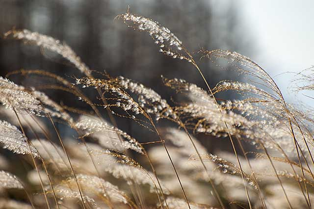 withered-reed15nov