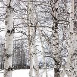 白樺 ミネラル豊富な樹液をくれる先駆者