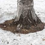 木の周りの雪溶けが早い訳