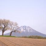 ニセコ 桜咲く ゆったりと春の訪れ