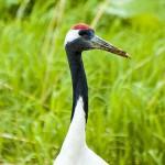 タンチョウ 絶滅から1500羽へ弥増す長寿の瑞鳥