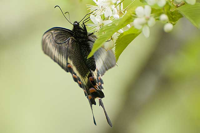swallowtail ミヤマカラスアゲハ