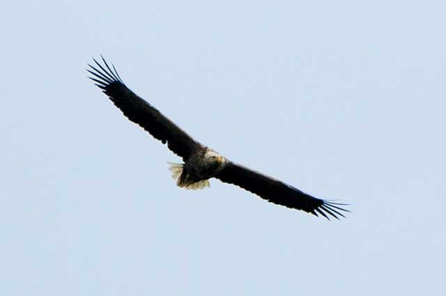 オジロワシ white tailed sea eagle