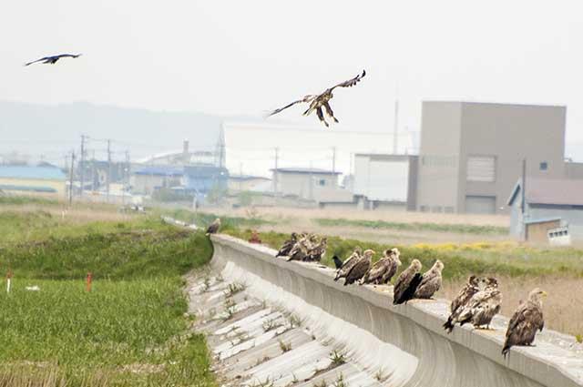 white-tailed sea eagles オジロワシ