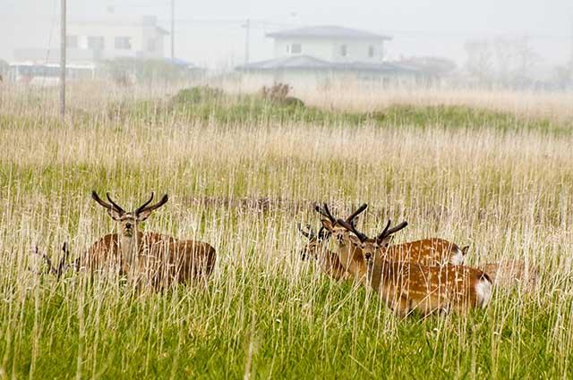 deer エゾシカ
