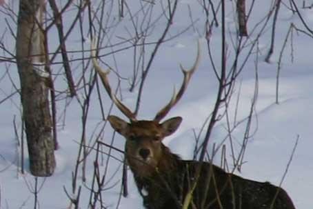 deer エゾシカ 冬
