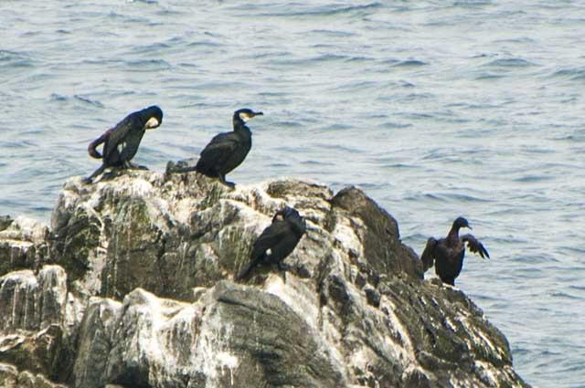 cormorant ウミウ ヒメウ