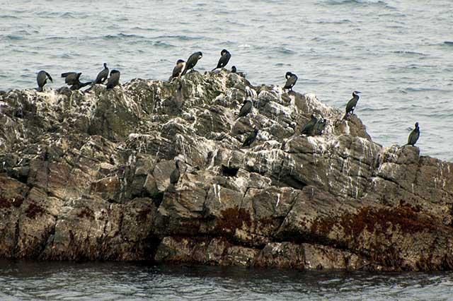 cormorant ウミウ