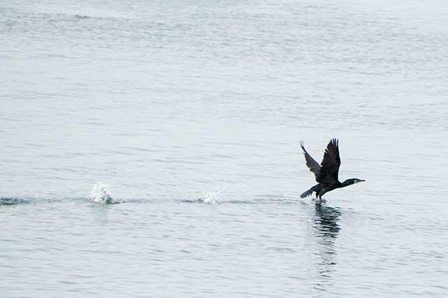 ウミウ cormorant