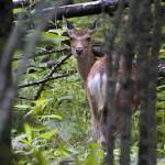 エゾシカ エゾシカを追って森の中へ