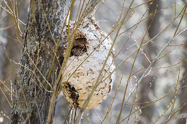 スズメバチ 古巣