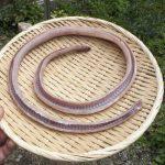 ジビエ 20分でできるヘビのさばき方 ヘビは鶏肉と魚の中間の味と食感
