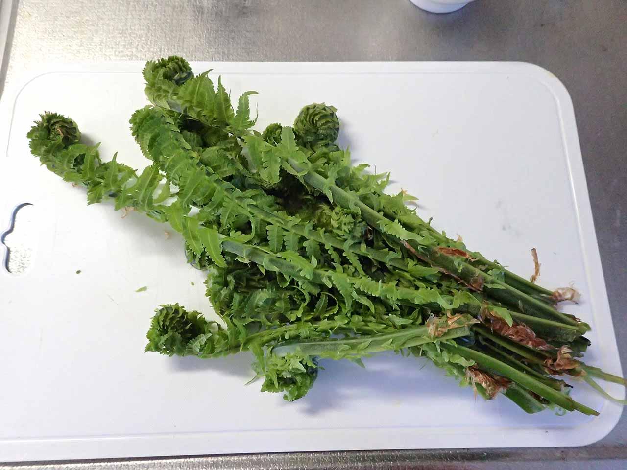 コゴミ クサソテツ 山菜