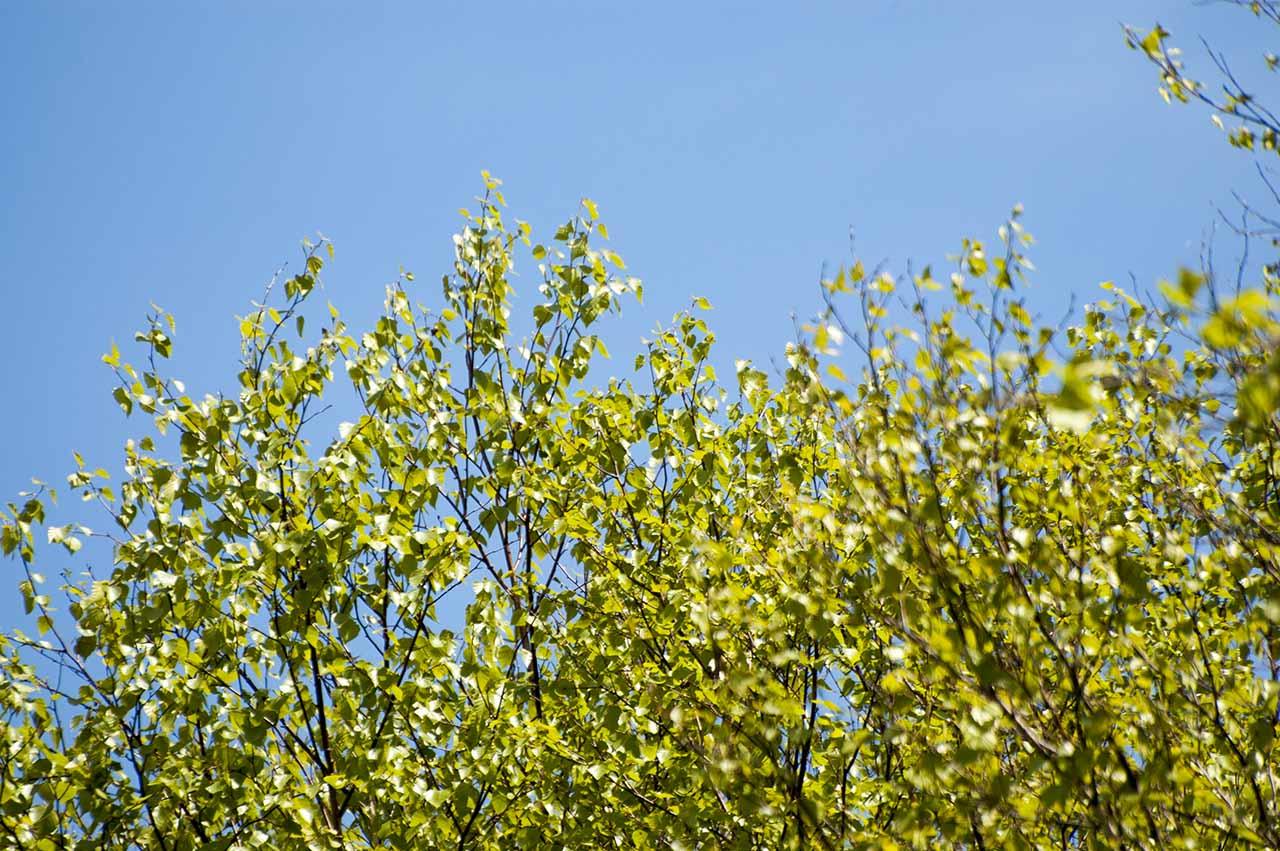白樺 シラカンバ 若葉