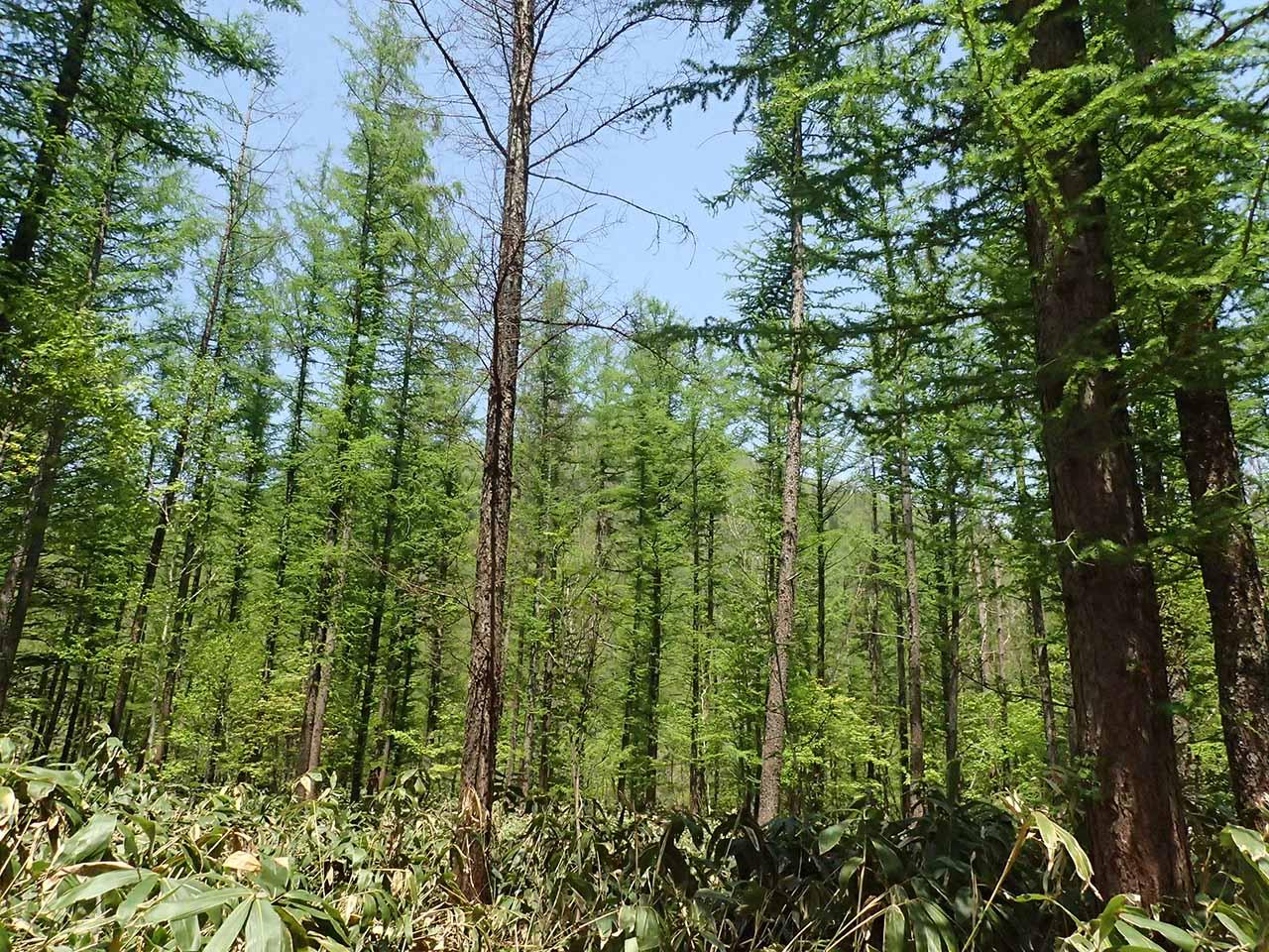 北海道 カラマツ林