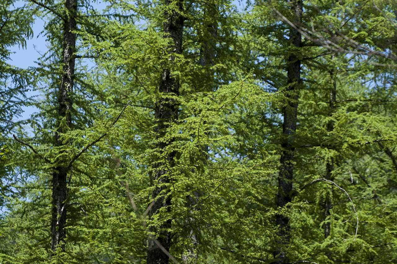 北海道 カラマツ林 新緑