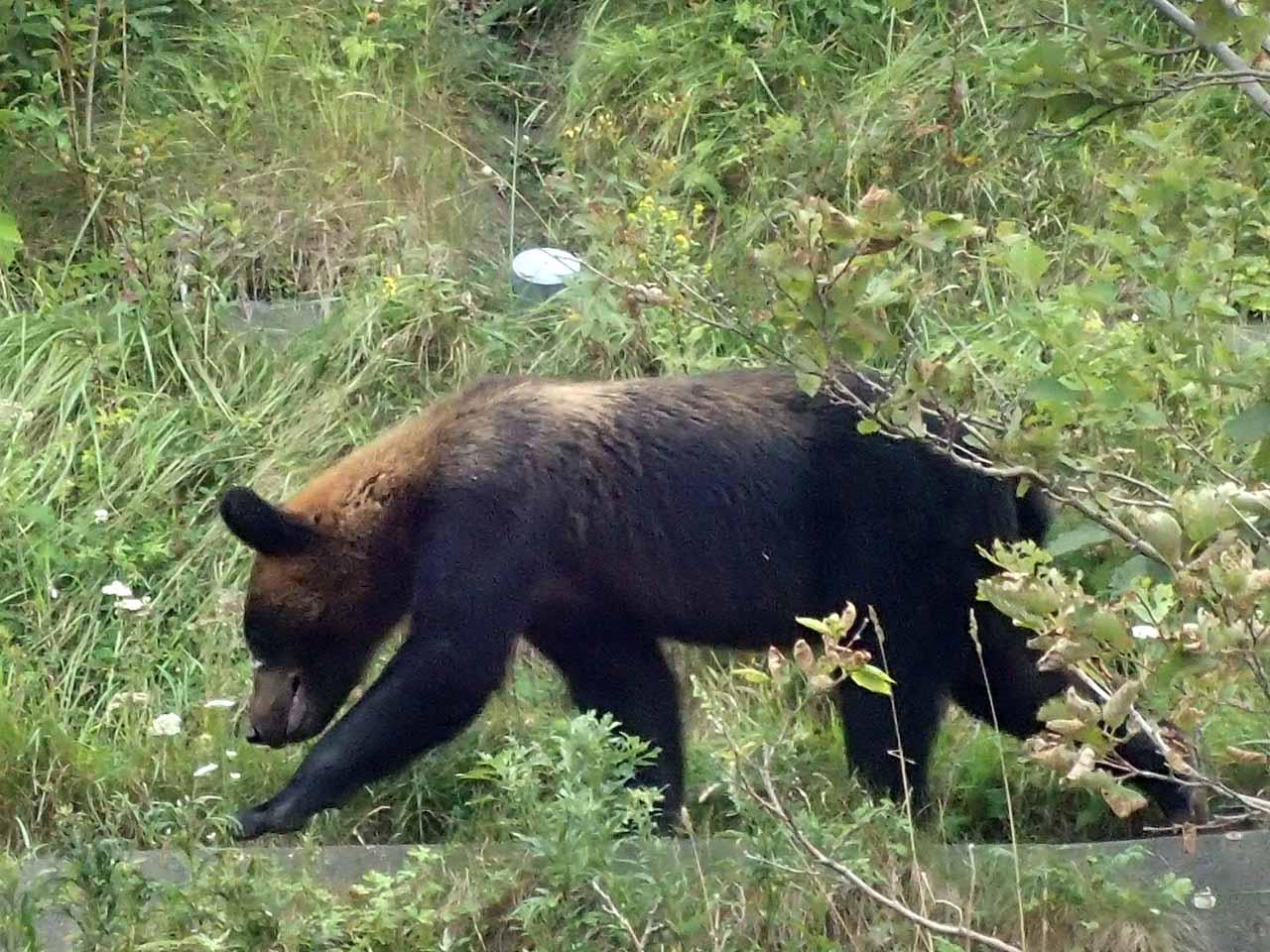 ヒグマ 知床半島 brown bear