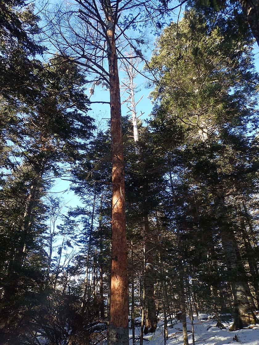 エゾシカ 被害 樹皮 北海道
