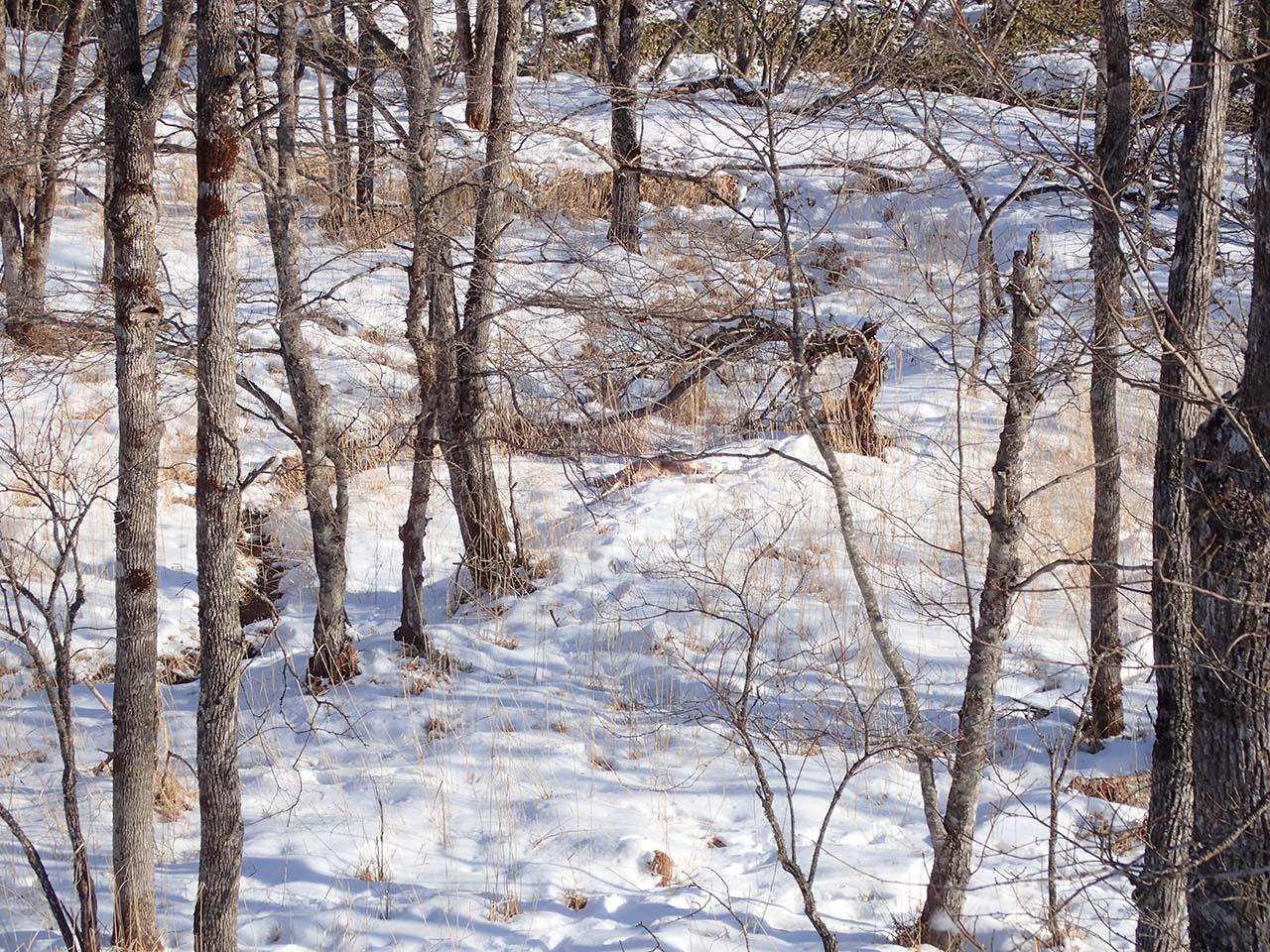 エゾシカ 狩猟