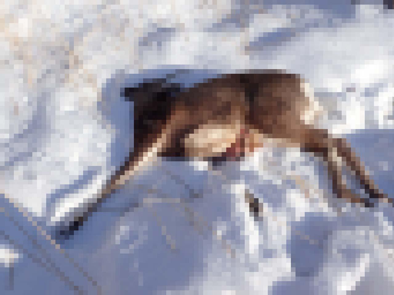エゾシカ 北海道 狩猟