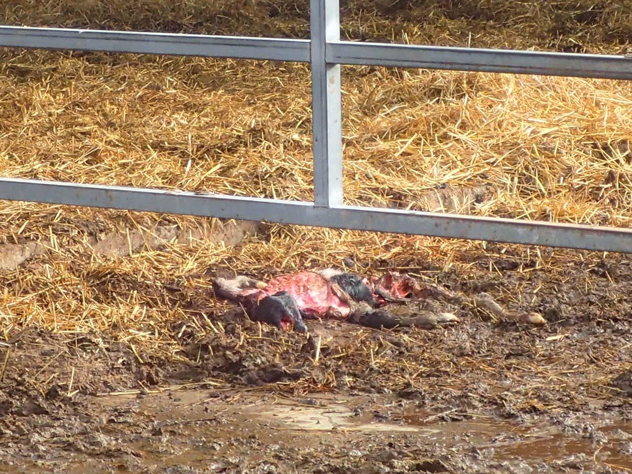 ホルスタイン子牛の死骸 キタキツネ被害