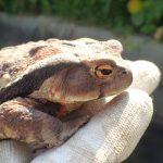 アズマヒキガエル 本州からやってきた愛嬌と毒を持つカエル