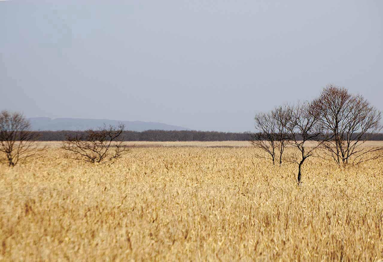 釧路湿原のヨシ原