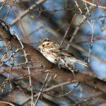 春を告げる鳥たち ハクチョウのわたりとヒバリの訪れ