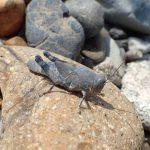 カワラバッタ 生息地の河原が減少し絶滅危惧へ