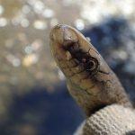ジムグリ 地面に潜るのが得意なかわいく珍しいヘビ