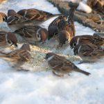 鳥獣保護法下のスズメ スズメは狩れるも飼えません