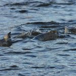 オオワシやオジロワシが十勝内陸部にいる理由 海と陸を繋ぐもの