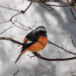 ジョウビタキ 幸福を届ける激レア(北海道では)野鳥