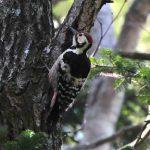 オオアカゲラとアポイ岳で出会う 姿・分布・生息環境・食性・生息数・繁殖について