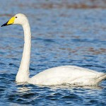 水をはじき保温性の高い羽毛を持つ水鳥