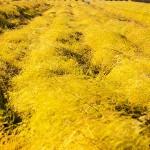 アスパラがつくる金色の草原 秋の今が旬