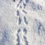 足跡と食痕 雪の上に残る生物の軌跡