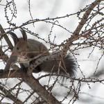 エゾリス 樹上で生き生きと躍動[動画]