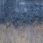 10羽のオオワシ 十勝川の段丘林のとまり木