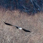 オジロワシ ユーラシア大陸を洋々と飛翔する猛禽類