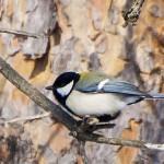 シジュウカラ 小鳥らしい鳴き声を聞かせてくれる四十雀