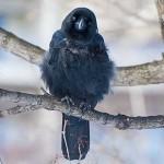 カラス 鳥類の中でもっとも進化している頭の良い鳥