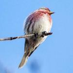 ベニヒワ ツンドラの森へ帰る冬鳥