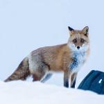キタキツネ 北海道では身近な野生動物