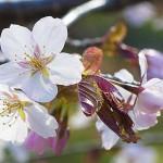 エゾヤマザクラ サクラ散る 北海道暮春の風景