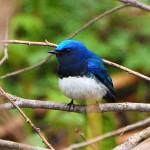 オオルリ 愛鳥週間とメーテルリンクの青い鳥