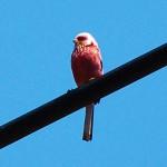 ベニマシコ 鳥は色を識別するか?