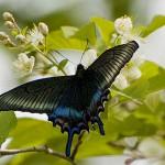 ミヤマカラスアゲハ 日本で最も美しい蝶